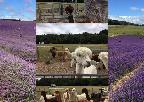 Lordington Lavender and the Alpacas