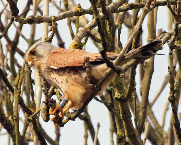 Kestrel at Newlands Corner