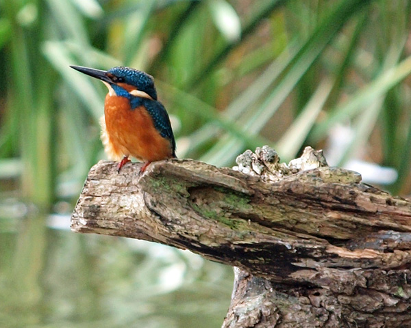 Kingfisher at Warnham