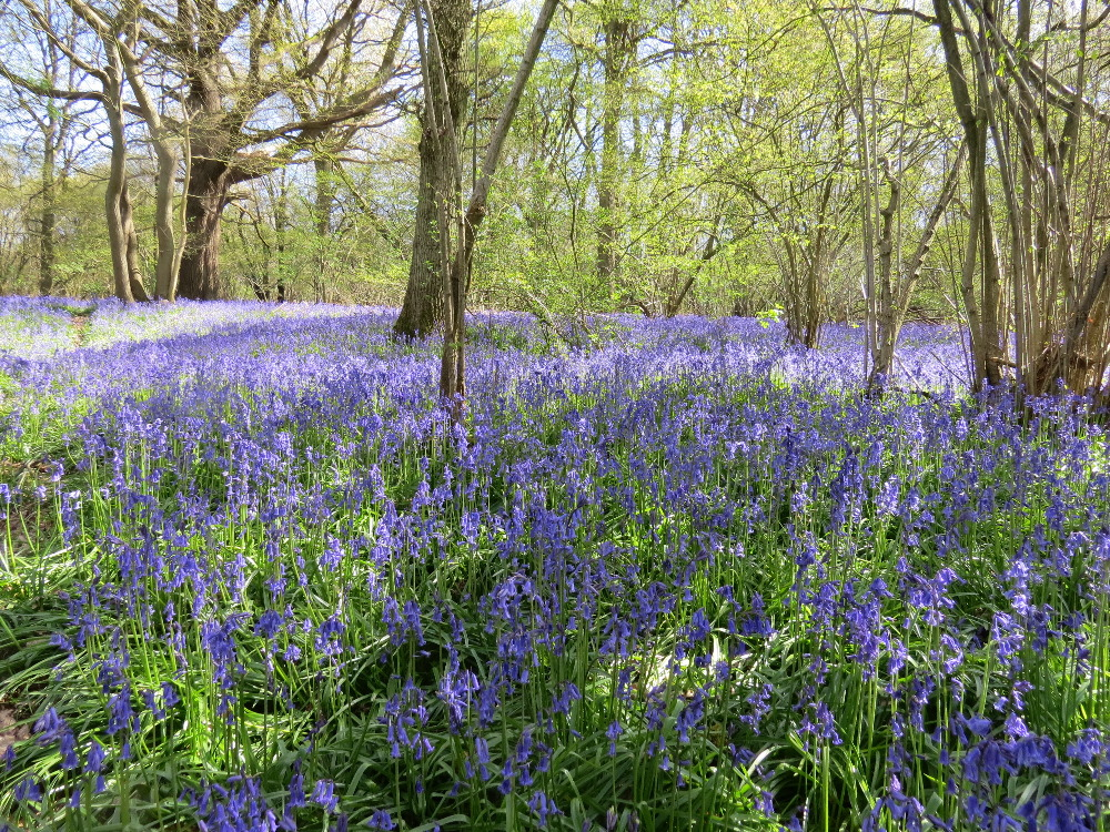 Bluebells in Banstead Woods