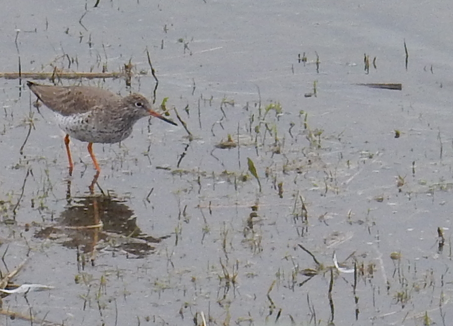 Redshank at Summer Leys by Val Hemmings