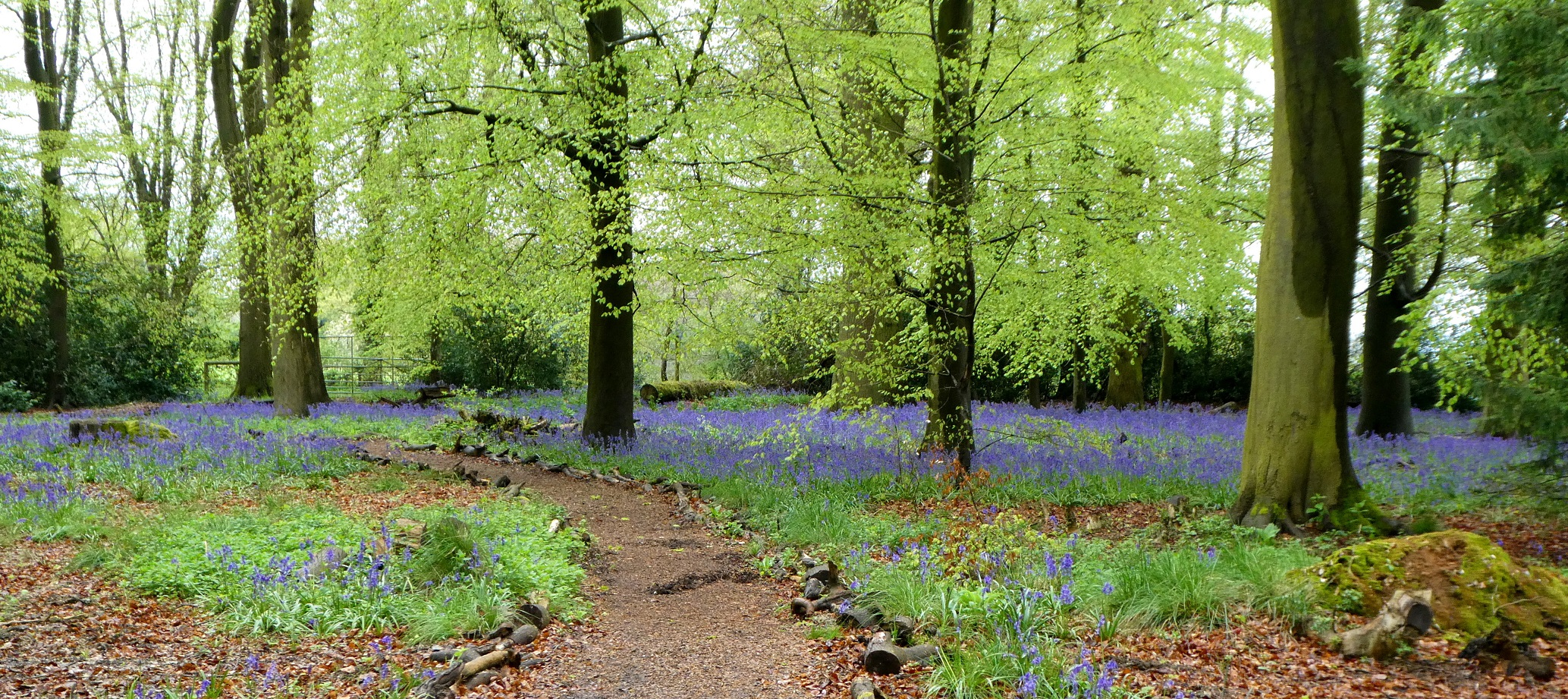BlueBells A Sign of Spring