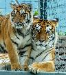 Two more Tigers