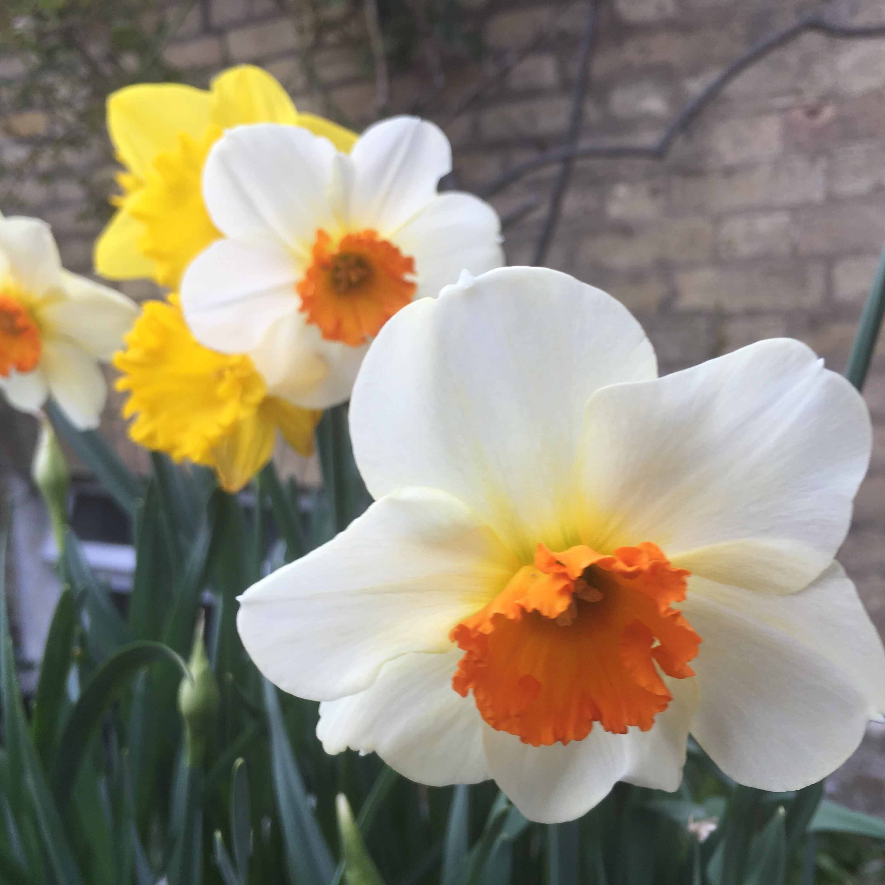 The daffs are back in town!