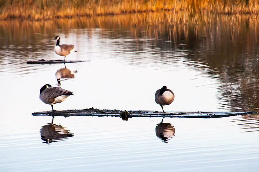 Geese at Hammwall and Shapwell Heath