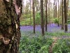 Austy Wood Blue Bells