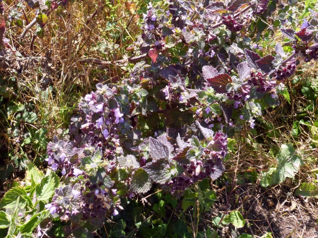 Black Horehound