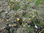 Coltsfoot before leaves