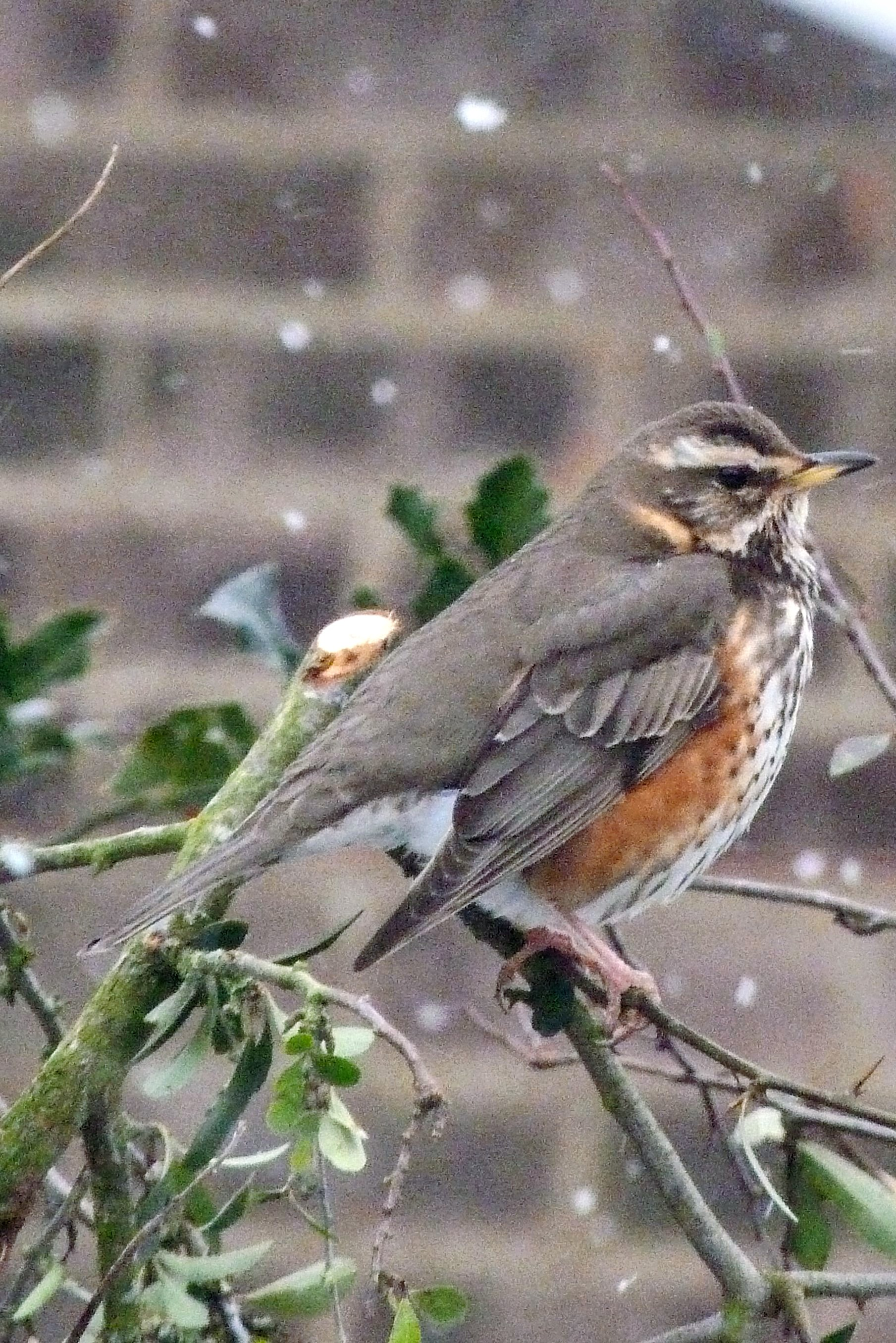 REDWING IN THE SNOW