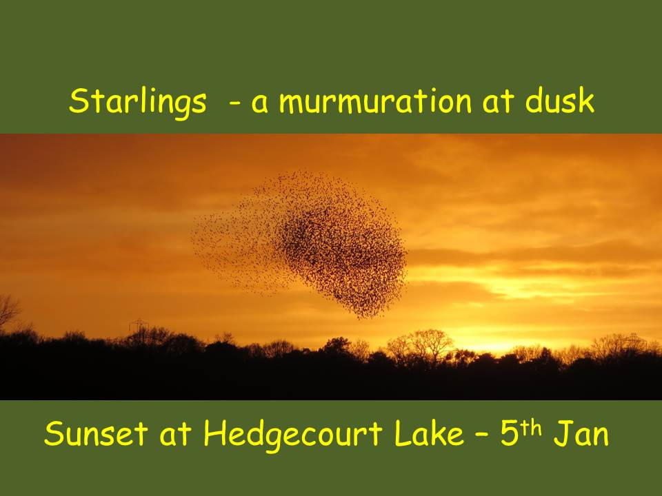 A Murmuration at Hedgecourt Lake