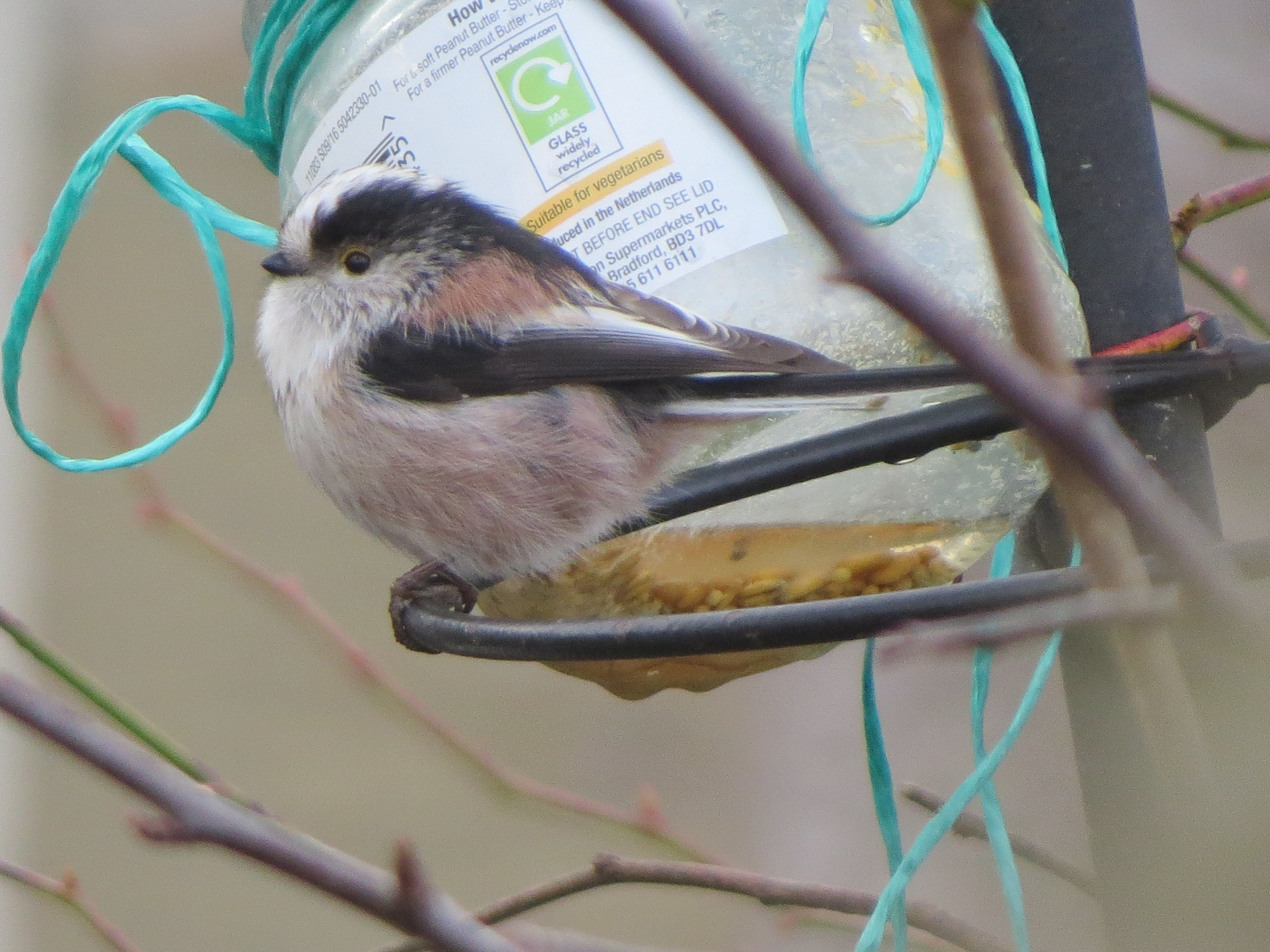 Long Tailed Tit, Hirsel 13/3/20