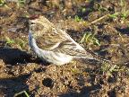 Common Redpoll, Whitfield Feb 2018