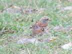 Brambling, St Abbs, 12 October 2018