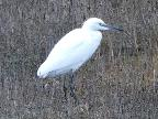 Little Egret, Holy Is (Paul Priestman)