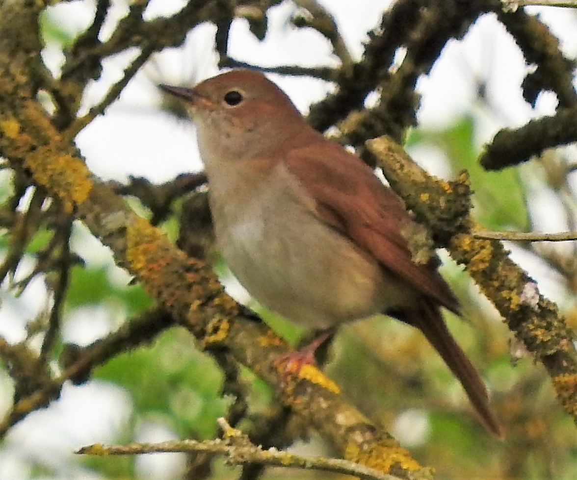 A Nightingale at Maidscross