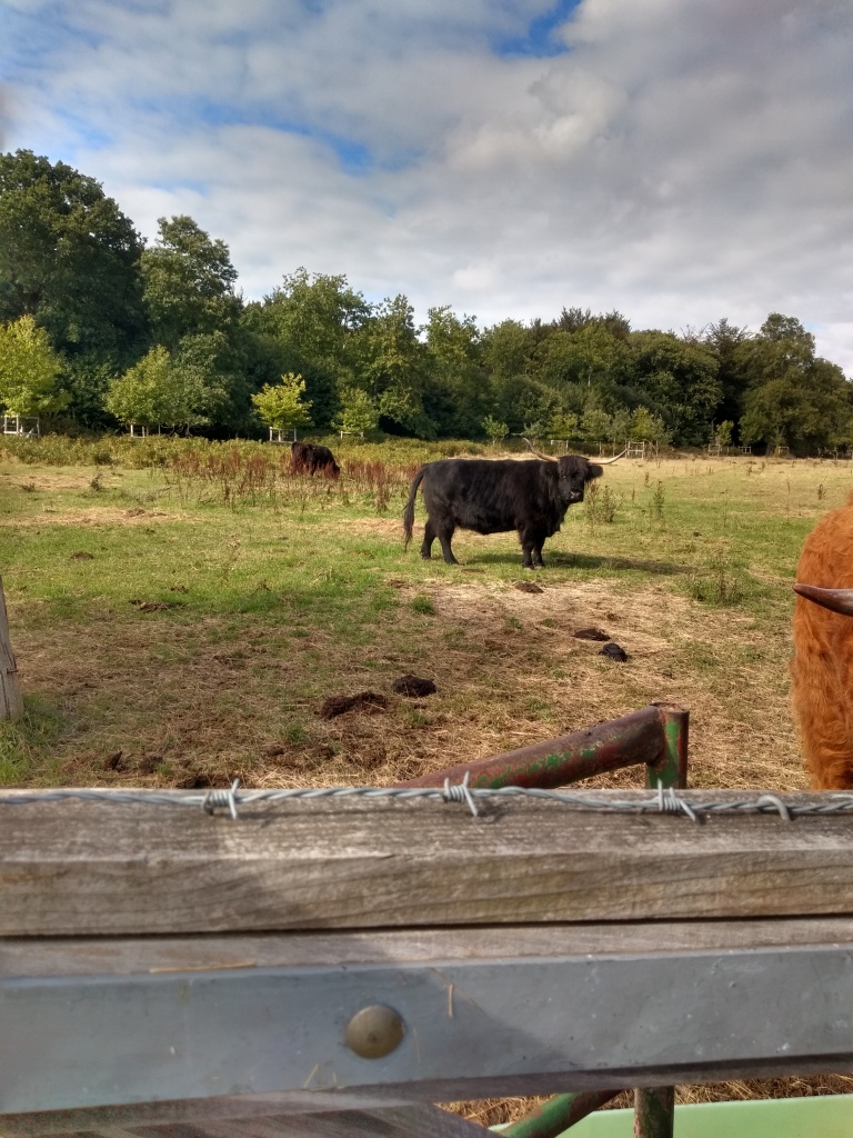 Highland Cattle at Stansted Park