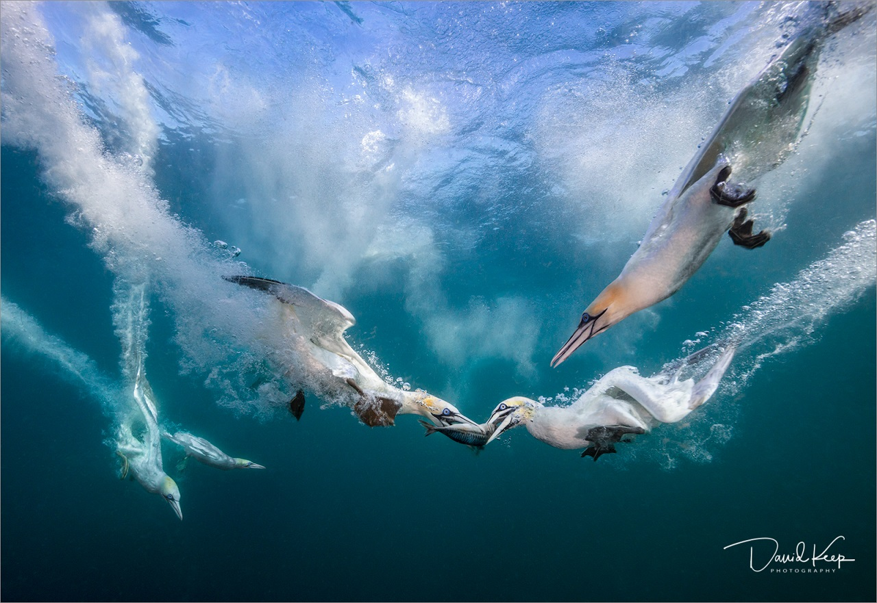 Diving Gannets - by David Keep