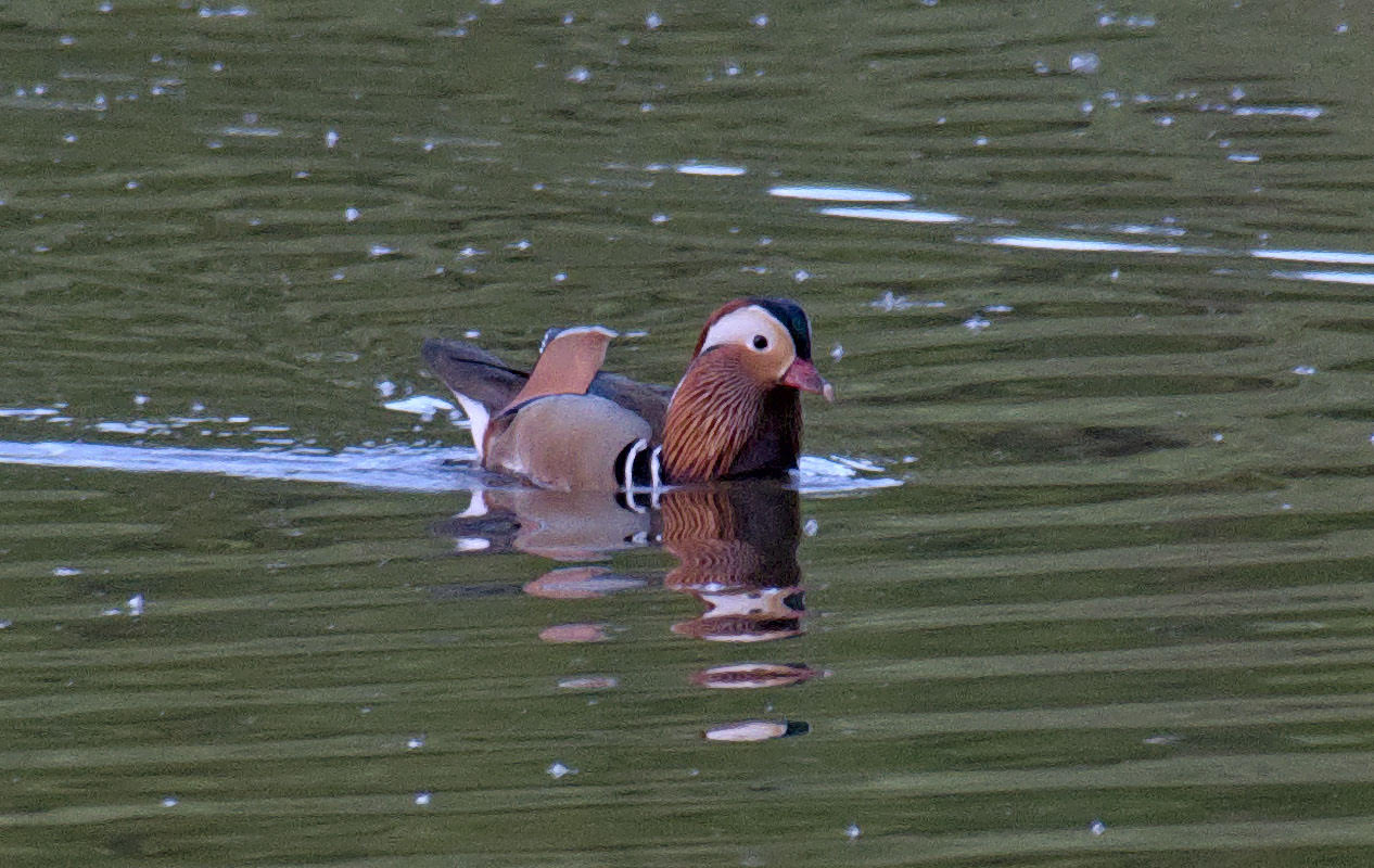 Mandarin Ducks 3