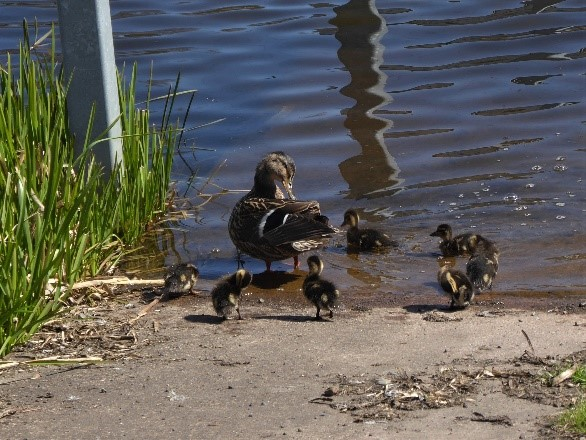 Family of Ducks, Beatson Charity Walk