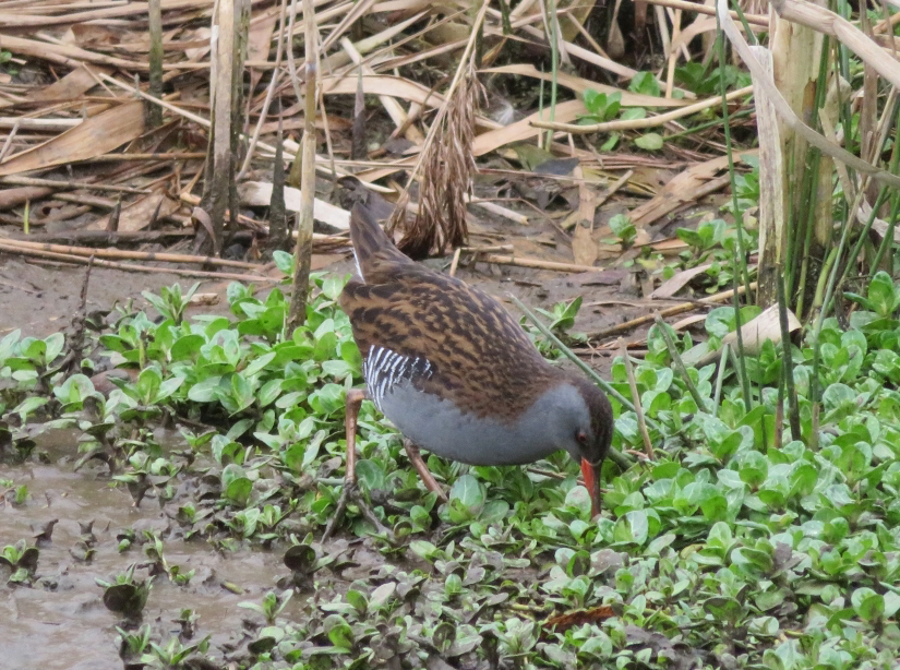 Water Rail - 08/03/19 Sence Valley