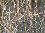 Reed Bunting - Willington Pits
