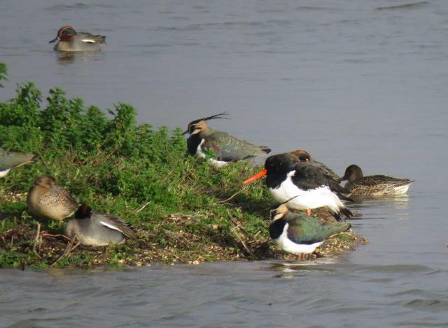 Oystercatcher, Lapwings and Teal