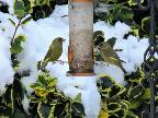 Greenfinches in the snow