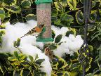 Brambling & goldfinch in the snow
