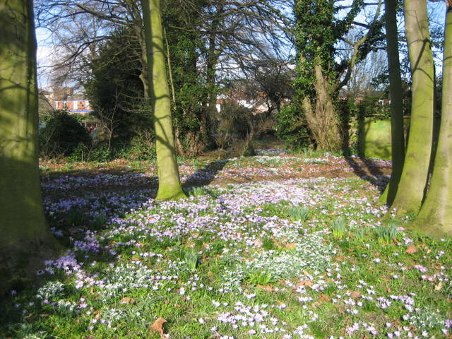 CROCUS IN THE TOWN PARK