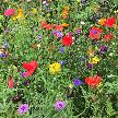 Wildflowers, Harlow Carr