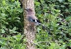 Jay at RSPB Pulborough Brooks