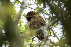 Tawny Owl at Pulborough Brooks