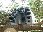 4.  Friendly Lemurs
