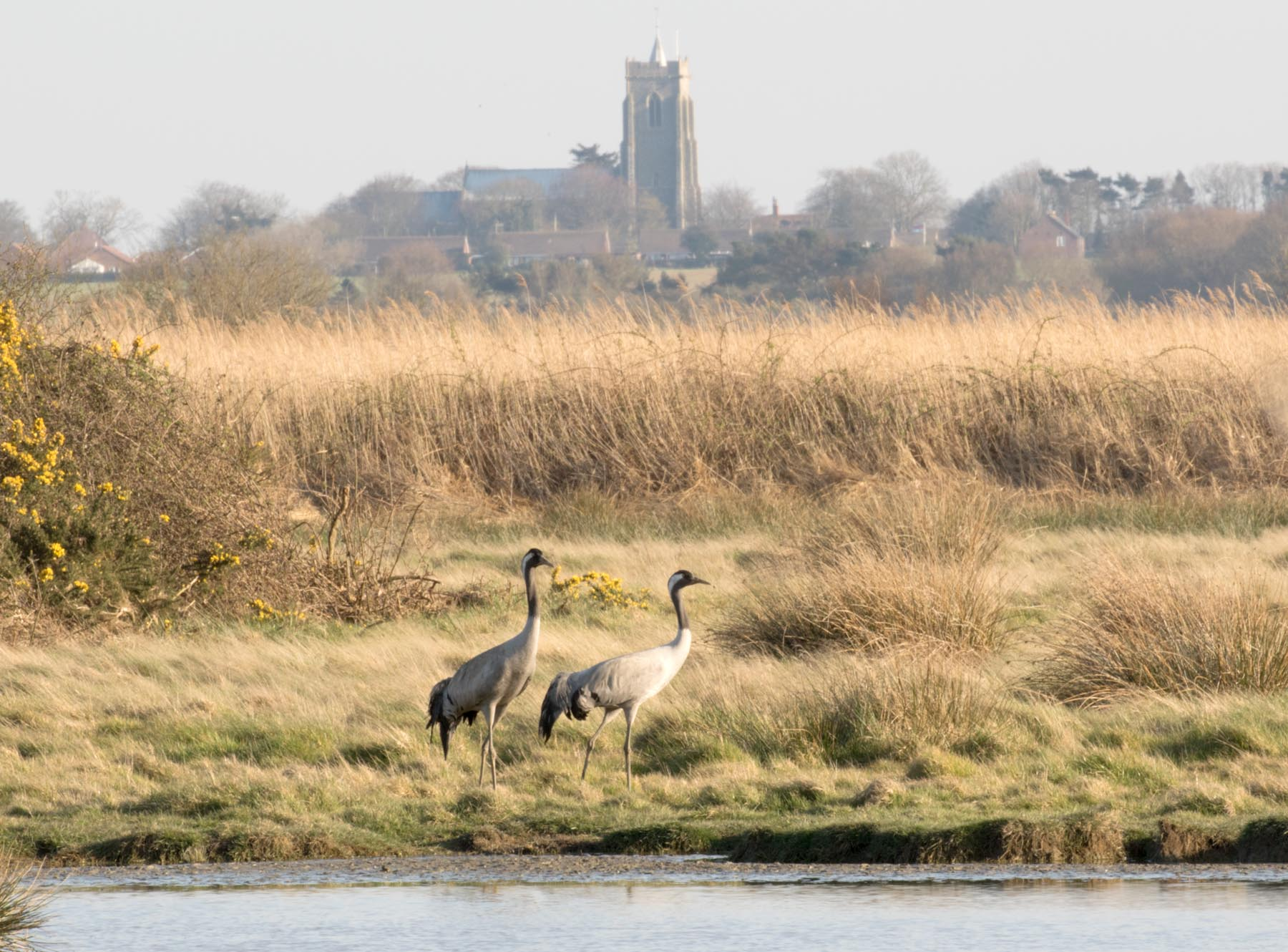 Cranes at Hickling