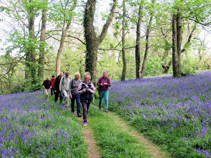 Bluebells at Widewell Apr 2017