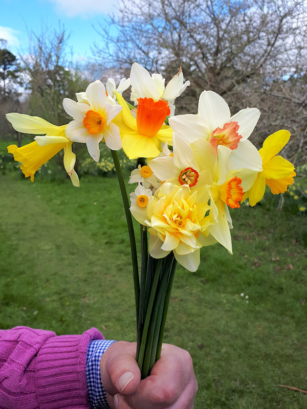 Daffodils at Cotehele