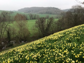 Wild daffodils in Gloucestershire
