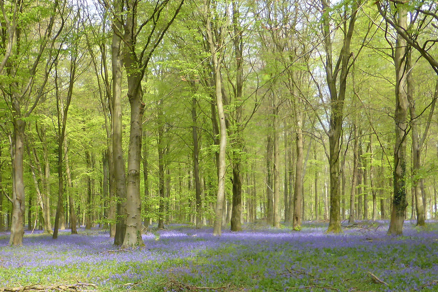 Bluebells in Patching Wood