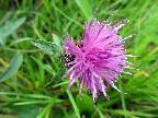 Common Knapweed at Bennerley Viaduct  Au