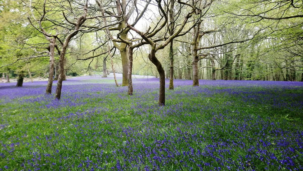 Bluebells in Enys Gardens 23/04/19
