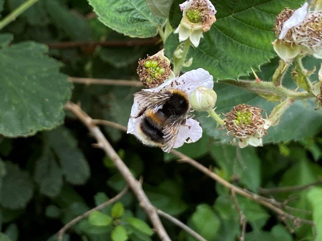 Bee on Bramble flower at Brixworth 0721