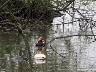 Red Crested Pochard Pair