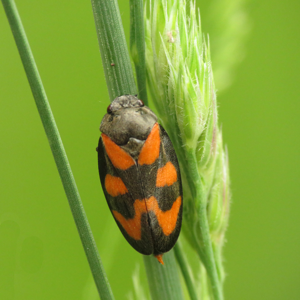 These frog hoppers make cuckoo spit