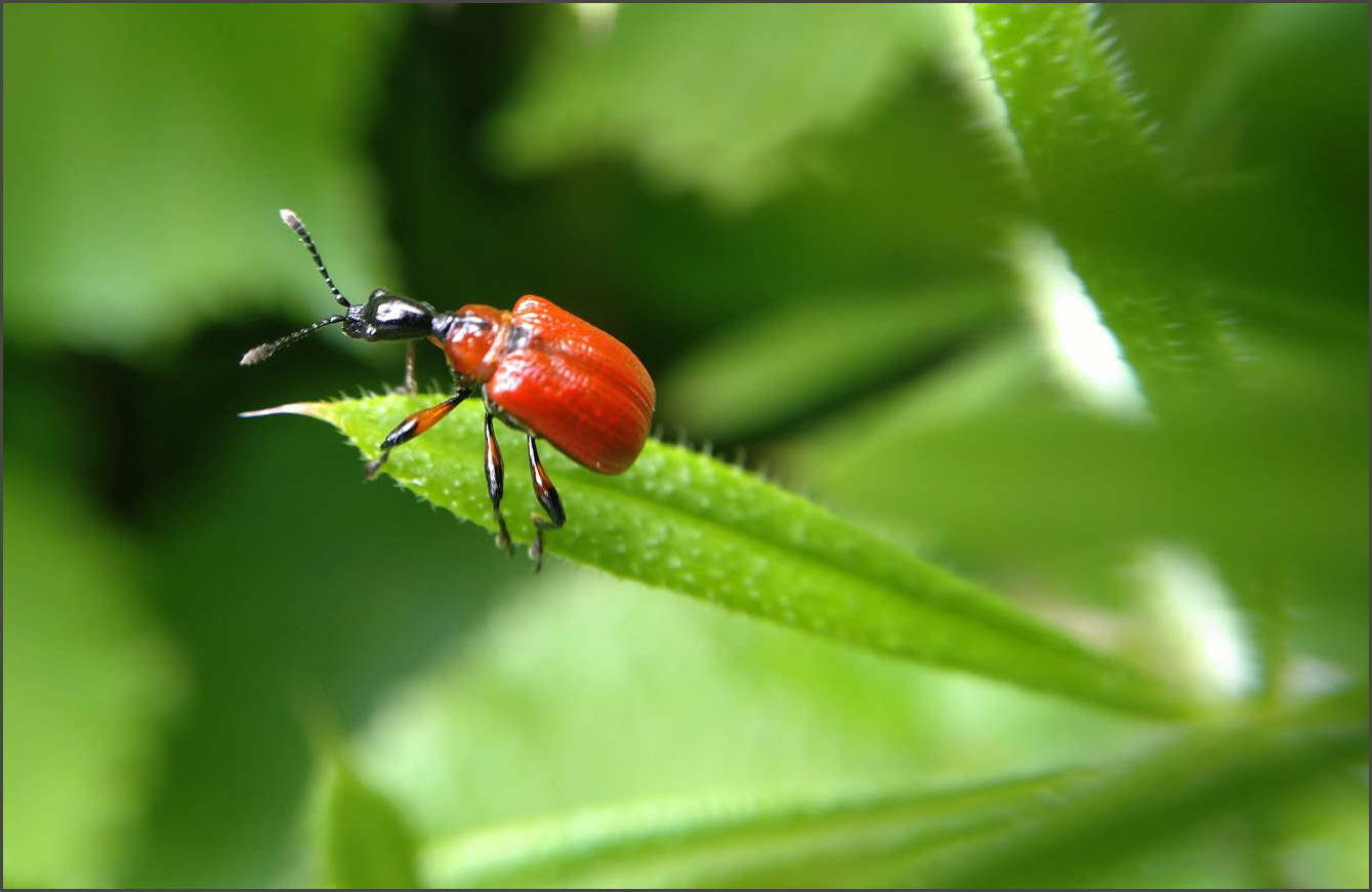 Lily Beetle, I think