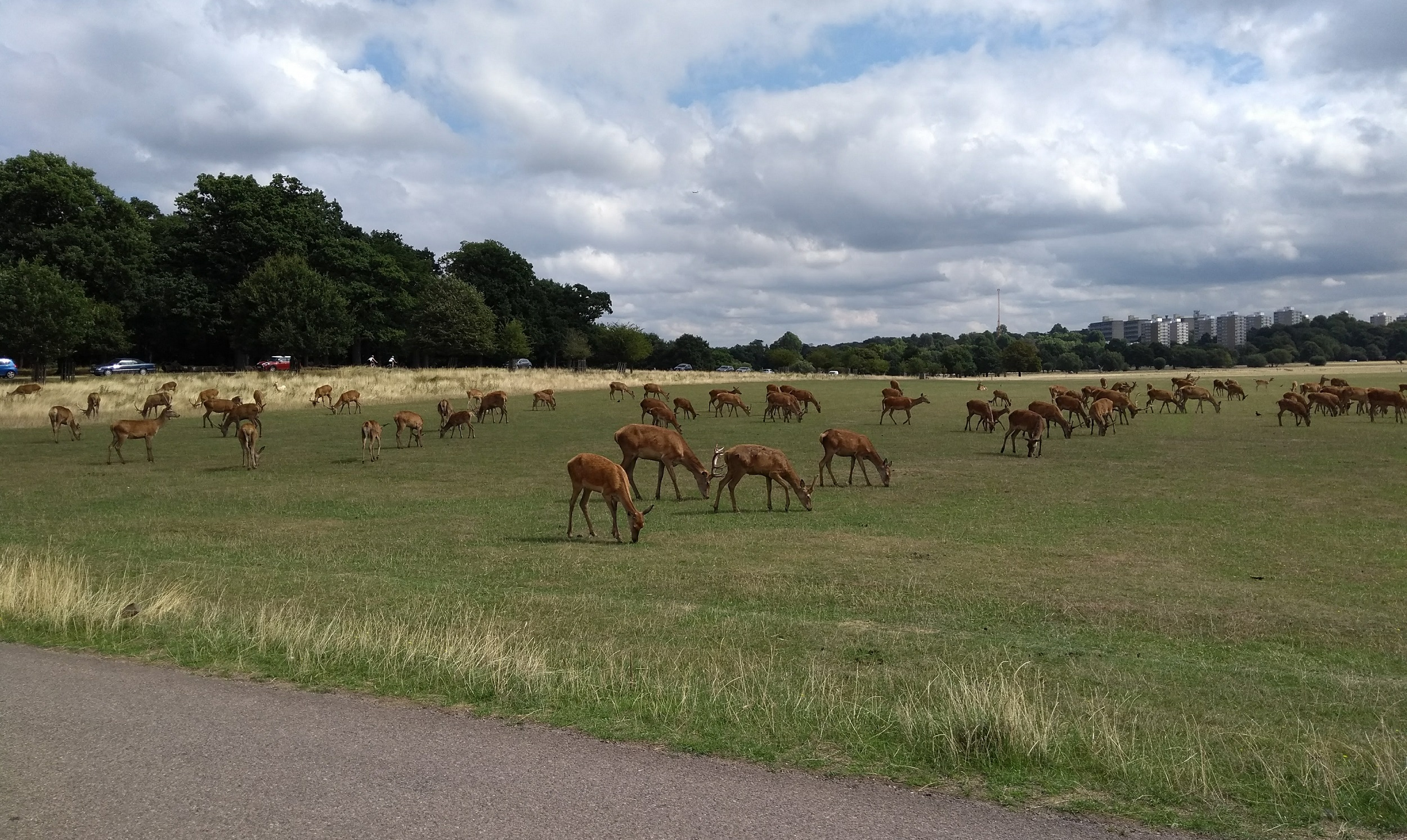 Deer in Richmond Park 21st August