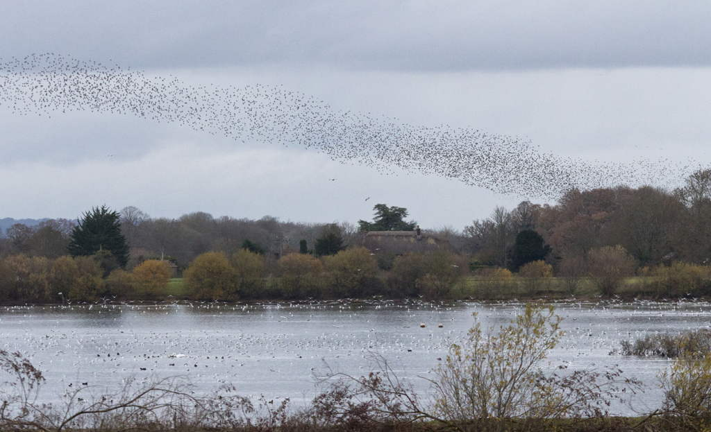Starlings at Blashford, Sue Lambert