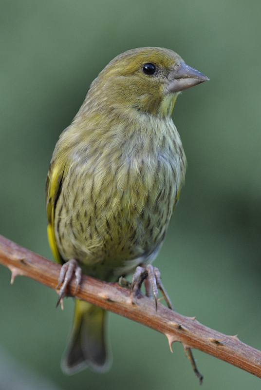 Young greenfinch by Peter Hambrook