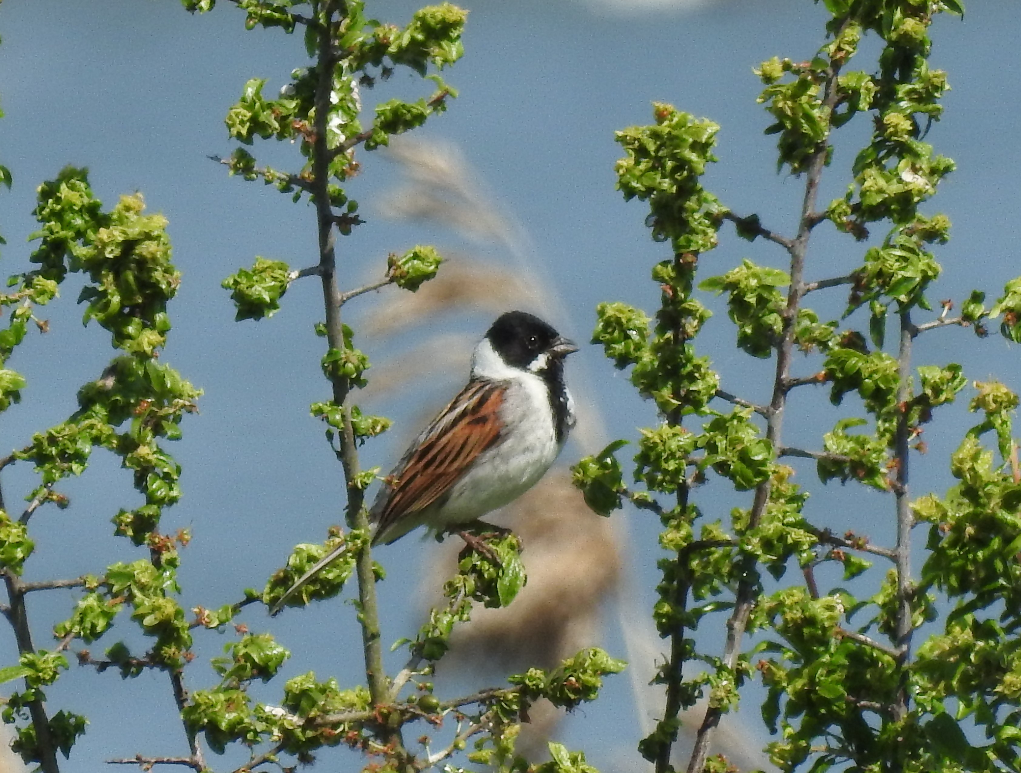 Reed bunting, 2nd June 2021