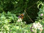 Butterfly at Greetham Valley