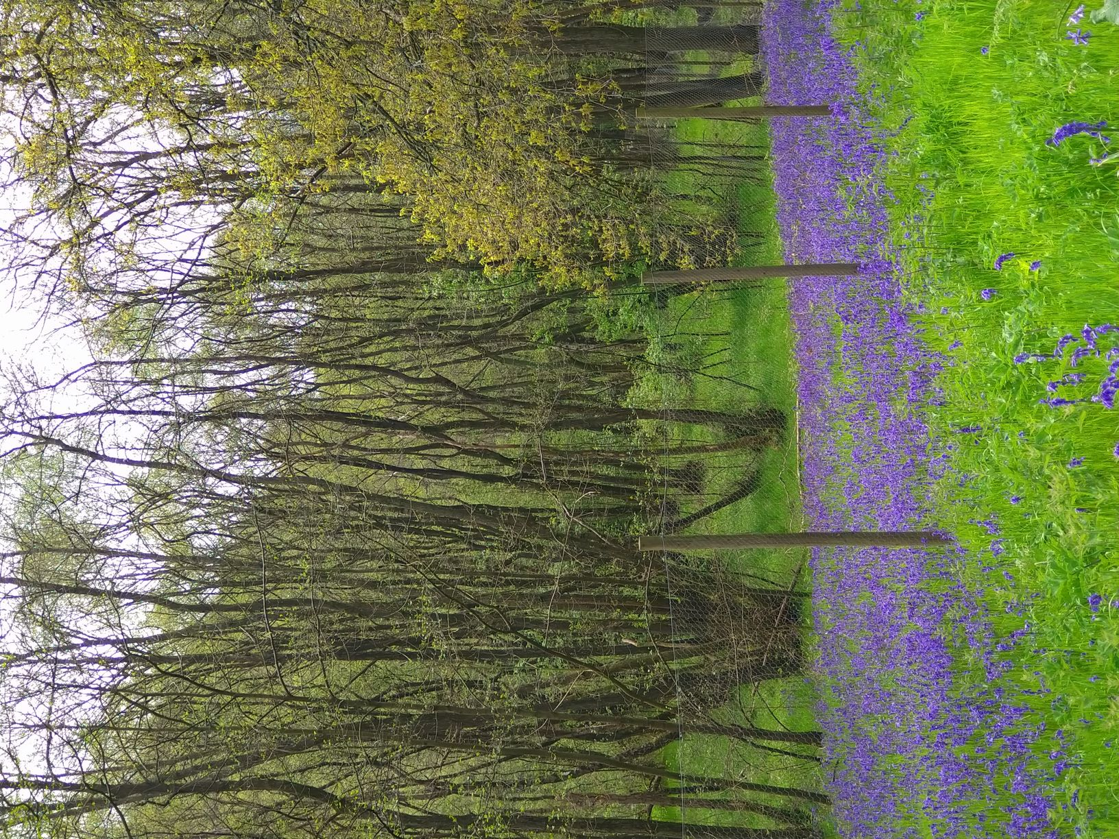 Bluebells at Riccal Dale